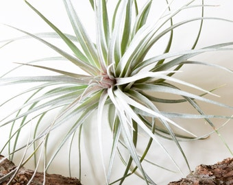 Tillandsia Houston // Blue Air Plant Hybrid