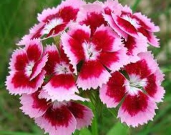 SWEET WILLIAM FLOWER Seeds 25 Fresh seed ready to plant in your garden