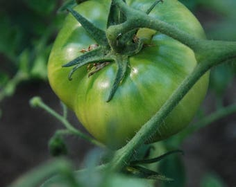 Tomato 'Goose Creek' - Heirloom Tomato Seeds