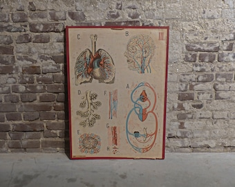 Vintage 50's Human Anatomy Vascular System Educational School Chart Poster