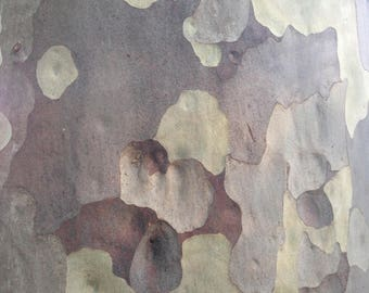 Gum Tree Bark