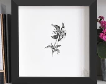 Aquilegia Flower Print