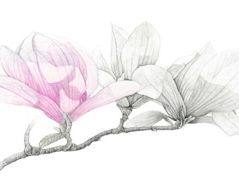 Magnolia Botanical Drawing Archival print from original drawing