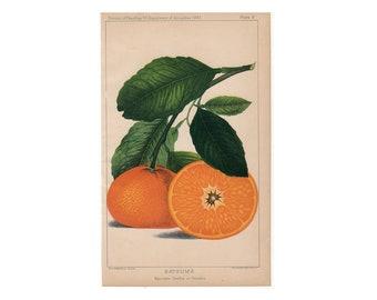 c. 1887 TANGERINE print -  original antique citrus print - orange print - satsuma print