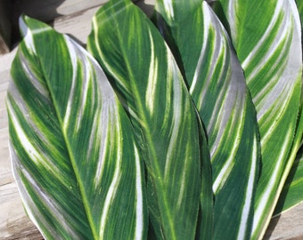 Silk Ti leaves, Ti leaf, Polynesian costumes- varigated green and white-13 to14 leaves per bundle