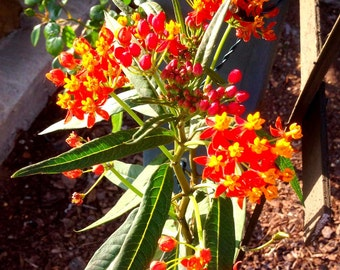 Tropical Milkweed Seeds, Asclepias curassavica, Scarlet Milkweed, Butterfly Garden Seeds, Monarch Butterfly Host Plant