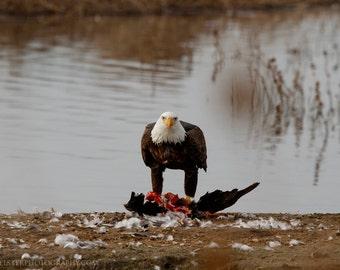 Bald Eagle Photograph, Fine Art Eagle Print, Eagle Eating Print, American bald eagle photograph
