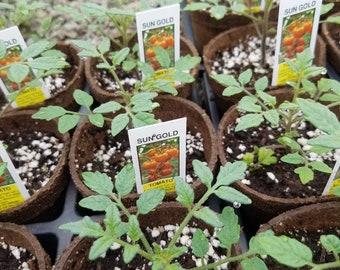 Sun Gold Tomato plants 4 pots