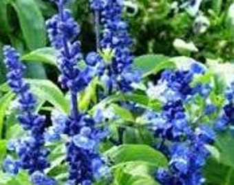 Blue Bedder Sage Seeds, Salvia Farinacea, Flower Seeds, Mealycup Sage, Heirloom Flower