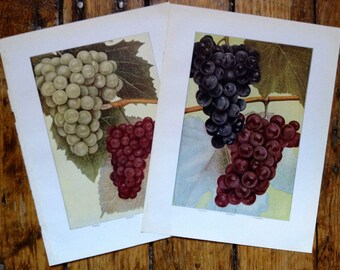 1911 grapes set of 2 original antique fruit & vegetable food lithograph prints - catawba concord niagara delaware grape