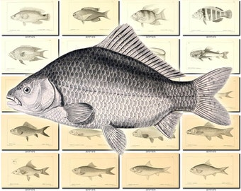 FISHES-42-bw Collection of 157 vintage images Common Carp Dace Crucian pictures High resolution digital download printable water animals