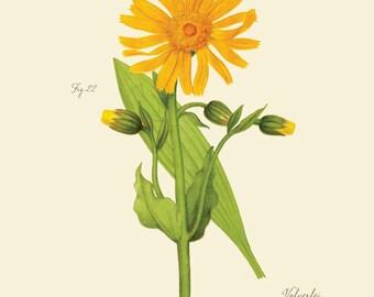 """Vintage botanischen Blume Berg Arnika Berg Tabak """"Arnika"""" Print 8 x 10 P177"""