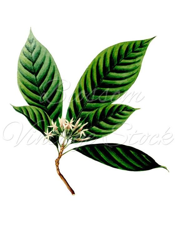 Leaves Image Botanical Illustration Clipart Vintage