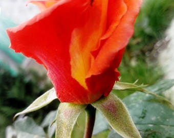Red Rose Close -up