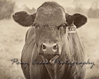 Black Angus Heifer Cow Fine Art Archival Photograph Print 12x12 Square