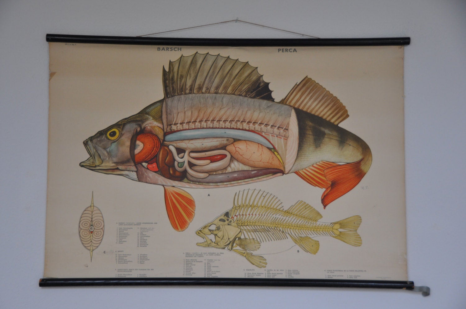 Authentic Vintage Pull Down School Chart. Fish. Perch. Lake.