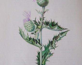 Bull Thistle Cirsium vulgare Vintage illustration flower print
