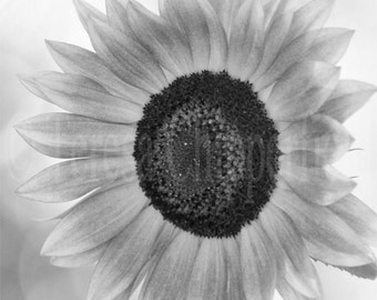 Black and White Photography, Sunflower, Fine Art Flower Photo Print, Autumn/Fall Colors, Harvest Time, Kitchen Home Decor, 8x8, 12x12, 10x10
