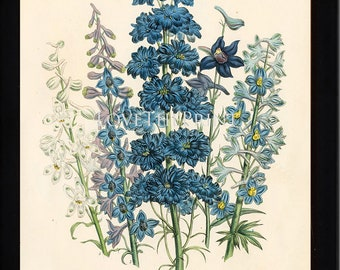 BOTANICAL PRINT Loudon Flower  Botanical Art Print 61 Beautiful Blue Antique Delphinium Flowers Garden