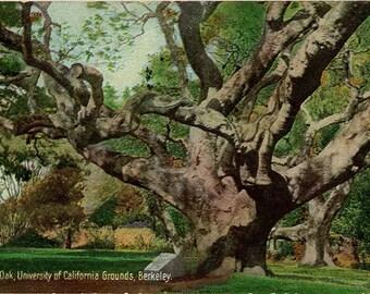 Berkeley University of California Le Conte Oak Tree Vintage Postcard 1927