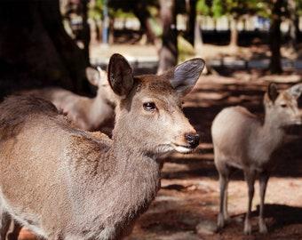 Deer Photography, Wild Animal Photo, Deer Print, Deer Wall Art, Cute Animal Art, Nature Wildlife Photo, Nara Park, Japan Print