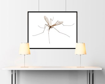 Cranefly species Tipula oleracea in high definition with extreme focus and DOF - SKU 03333