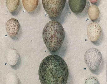 Original-1930's-Book Plate-Natural History-British Birds-Birds Eggs-Ornithology-Matted-Home decor