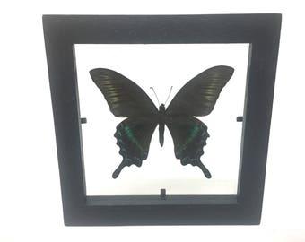 Stunning Papilio Maakii Maakii Summer Butterfly/Insect/Taxidermy/Lepidoptera.