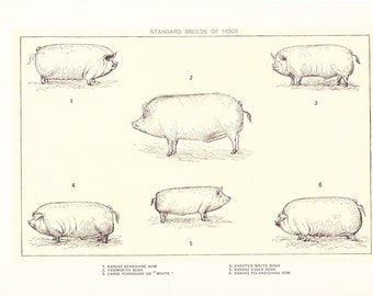 1909 Animal Print - Hogs - Vintage Antique Home Decor Book Plate Art Illustration for Framing 100 Years Old