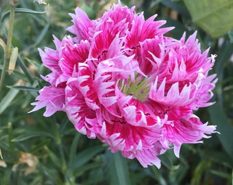 Carnation Gaiety Mix - non-GMO, organically grown - double and single mix in range of pinks - 35 seeds