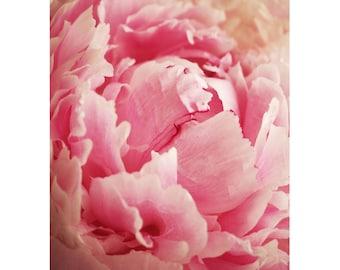 Peony pink macro photography download