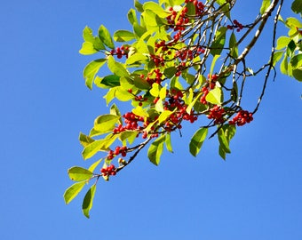 Red Berries And Blue Sky - Photo Paper Print