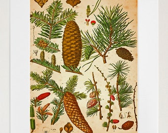 Pine Cones Botanical Art Vintage Print