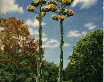 Century Plants of the Desert Botanical Vintage Postcard (unused)