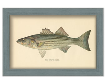 Striped Bass by S. F. Denton