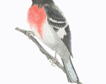 Rose- breasted Grosbeak/BIRD ILLUSTRATON/Archival Giclee Print/Ornithology,Conservation/Black-Rose-Gray-White