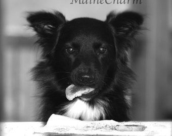 Dog Eating Morning Toast, Maine Photography, Black and White Print, Animal Photography, Dog Art