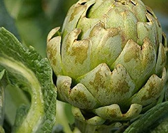 Artichoke Seeds - Green Globe Artichokes - David's Garden Seeds - Green Globe Artichoke Seeds