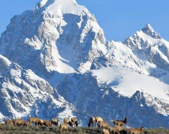 Grand Teton, Teton National Park, Elk, Veiw over the Ridge
