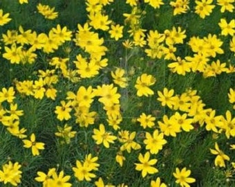 15 Giant Yellow Coreopsis Seeds-1055