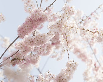 Spring Cherry Blossoms 3