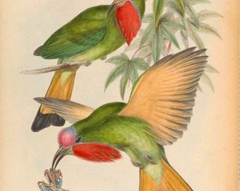 Red-bearded Bee-eater (Nyctyornis amictus) exotic bird illustration by John Gould from Birds of Asia reproduction print