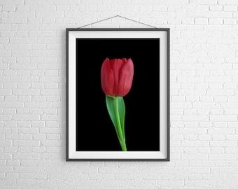 Fine Art Photography Print - Flower, Nature, Studio - Red Tulip