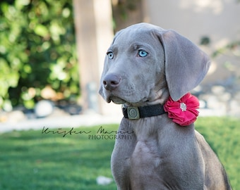 Pet accessories, Dog collar accessories, girl dog accessories, girl dog bow, Wedding Dog Flower, Bow for Dogs, Dog Bow, dog collar flower