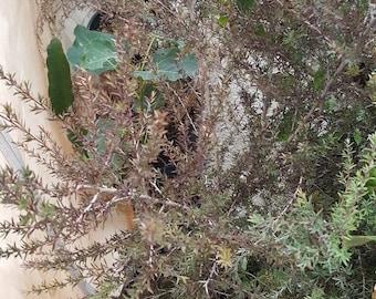 Leptospermum scoparium 'Ruby Glow' 2 Feet or Taller