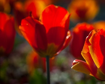 A mass of Tulips backlight. One in sharp focus has a small spider on it.