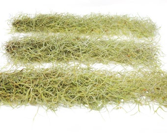 Tillandsia Usneoides Air Plant / Spanish Moss / 2-3 Feet Long / Live Plant