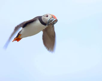 Puffin flying in with a beak full of Sandeels. Signed, archival giclée prints of birds and animals, (guaranteed fade-resistant for 75years).