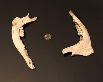 Deer Mandible Bones