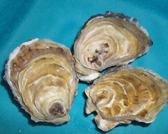 3 Dozen FLAT Side Oyster Shells from Cortez Island British Columbia
